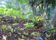 Site of St Conva's Well, beneath the elder tree, off-centre